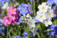 Forget-me-not in three colors Royalty Free Stock Image