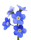 Forget-me-not Victoria Blue Flower Isolated on White Royalty Free Stock Image