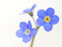 Forget-me-not Victoria Blue Flower Isolated on White Royalty Free Stock Photography
