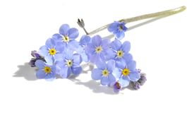 Forget-me-not on white Royalty Free Stock Images