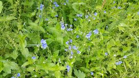 Forget-me-nots λουλουδιών στο σιβηρικό δάσος Στοκ εικόνες με δικαίωμα ελεύθερης χρήσης