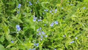 Forget-me-nots λουλουδιών στο σιβηρικό δάσος Στοκ Φωτογραφία