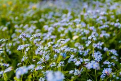 Forget-me-nots στην άνθιση στον πράσινο τομέα καλοκαίρι κήπων λουλουδιών ανθών Στοκ φωτογραφία με δικαίωμα ελεύθερης χρήσης