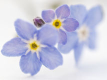 Forget me nots Stock Photo