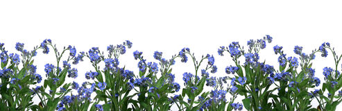 Forget-me-nots. Bunch of forget-me-nots over white background Stock Images