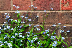 Forget-me-nots. Against a garden wall Royalty Free Stock Image