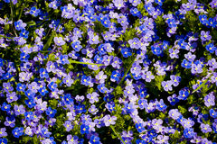 Forget-Me-Nots. Close-up of Forget-Me-Nots (Myosotis), overhead view Stock Images
