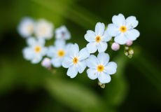 Free Forget-me-nots Royalty Free Stock Photo - 2926235