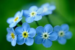 Forget-Me-Nots. Photo of forget-me-nots on green background Royalty Free Stock Images