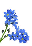 Forget-me-nots. Isolated on white background stock photos