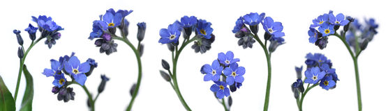 Forget-me-nots. Mix of 8 forget-me-nots over clear white background Stock Photography