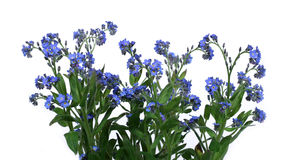 Forget-me-nots. Bunch of forget-me-nots over clear white background Stock Images