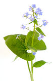 Forget-me-nots. Isolated on a white background Stock Photo