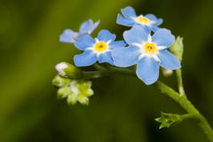 Forget me nots Royalty Free Stock Photos