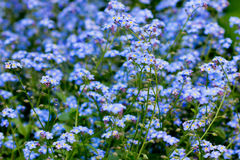 Forget-me-nots. Blue forget-me-nots grow on the field Stock Images