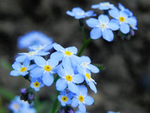 Forget-me-nots Royalty Free Stock Photos