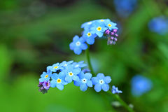 Forget me nots close up Stock Image