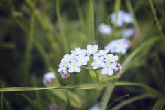 Forget me nots close up flowers Stock Image