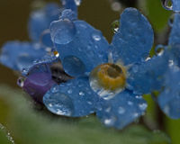 Forget-Me-Nots in closeup whid raindrops Stock Image