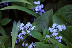 Forget-me-nots and dark green leaves. Flowers in the garden. Blue flowers royalty free stock photography