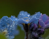 Forget-Me-Nots with dew Royalty Free Stock Photos