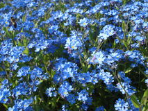 Forget-me-nots field. Forget-me-nots patch in a park in spring Royalty Free Stock Photography
