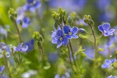 Forget me nots flowers in close up Stock Photography