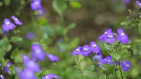 Forget-me-nots flowers, Da Lat city, Lam Dong province, Vietnam stock footage