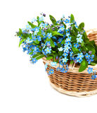 Forget-me-nots flowers Stock Image