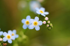Forget-me-nots in the garden stock images