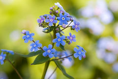 Forget-me-nots in the garden Stock Image