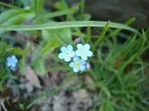 Forget-Me-Nots. Garden Forget-Me-Nots in the spring royalty free stock photo