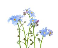 Forget-me-nots isolated on white background Stock Images