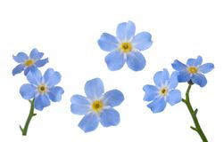Forget-me-nots isolated on white background. Forget-me-nots isolated on white background royalty free stock images