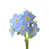 Forget-me-nots. Royalty Free Stock Image
