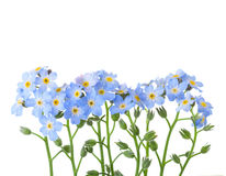 Forget-me-nots isolated on white background. Studio shot.  stock photography