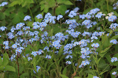 Forget-me-nots Stock Image