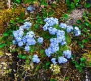 Forget-me-nots (Myosotis) σε Novaya Zemlya Στοκ Φωτογραφία