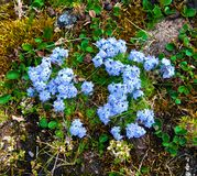 Forget-me-nots  (Myosotis) on Novaya Zemlya Stock Photography