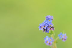 Forget-me-nots, Myosotis sylvatica Royalty Free Stock Photos