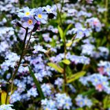 Forget me nots. With one in focus and the rest blurred Royalty Free Stock Photos