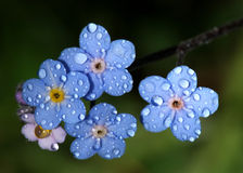 Forget-Me-Nots with Raindrops. Blue forget-me-nots with raindrops, or dew Stock Image
