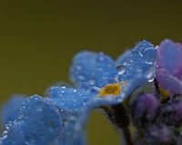 Forget-Me-Nots with Raindrops Stock Images