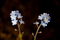 Forget Me Nots stock photography
