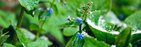 Forget-me-nots in the snow. Snow and flowers. rare. cold. beauty..snow and forget-me-nots Stock Photo