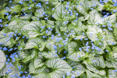 Forget-Me-Nots. Variegated forget me nots in full bloom Stock Images