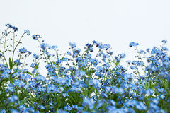 Forget-me-nots on white background Royalty Free Stock Photography