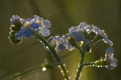 Forget-me-staple. In the nature reserve Meinerswijk, Netherlands Royalty Free Stock Photography