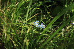 Forget-me-tender in the grass Stock Images