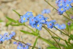 Forgetme inte mycket små blommor Arkivfoton